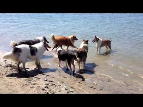 Xxx Mp4 Dogs Play At The Beach Dog Beach Barking Collies Water Play Collie 3gp Sex