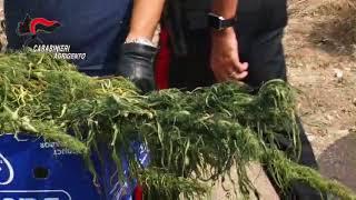 Marijuana nelle campagne di Palma di Montechiaro - Agrigento
