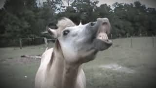Vaniyambadi horse