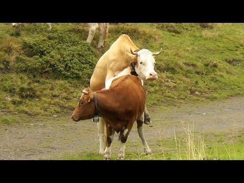 COPULATING COWS ON SWISS ALPS HIKE - Allmendhubel, Switzerland - Leonard Does Europe #25