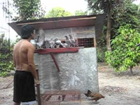 RACING PIGEON PHILIPPINES ( i.dsign loft / Ivan Derriick Dizon).AVI
