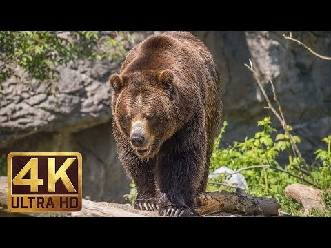 Xxx Mp4 4K Ultra HD Video Of Wild Animals 1 HR 4K Wildlife Scenery With Floating Music 3gp Sex