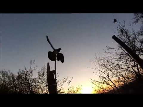 CHASSE PALOMBES 15 02 2017