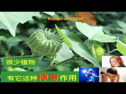 磨盘草(帽仔盾草)~功效与作用.lndian mallow Traditional  medicinal uses  (lndian Abutilon)Manfaat Kembang Sore .