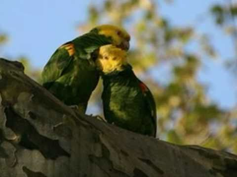 Papagaios gênero Amazona Américas Central do Sul e Caribe.