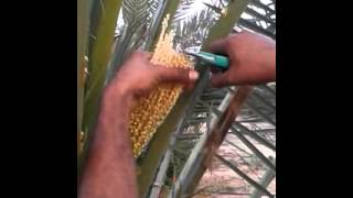 date palm POLINATION