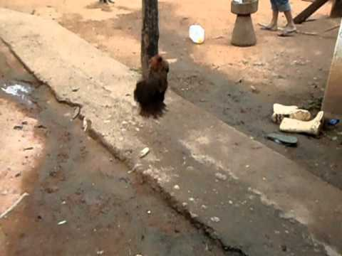 Como matar uma galinha caipira