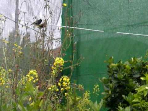 carduelis atrata black siskin en voladera externa