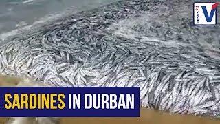WATCH: Sardines netted on Isipingo beach, Durban