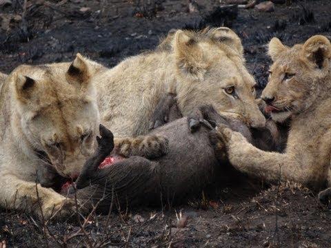 Safari 2011 Lions versus warthog