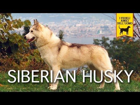 SIBERIAN HUSKY trailer documentario