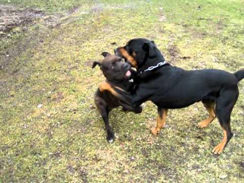 Chiot Pitbull américain croisé Rottweiler avec un très beau Rottweiler
