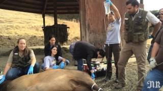 Wildlife Safari interns dart elk, castrate bulls, feed tigers and artificially inseminate cheetahs