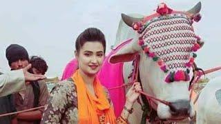 Bhagnari Huge Sibbi Bull Mashallah