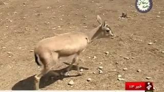 Iran Wounded female Caspian red deer returned back to the nature گوزن قرمز كاسپين ايران