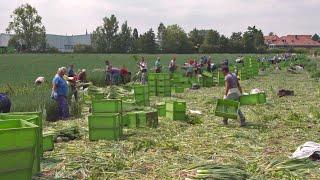 Bauernkrieg: Wer Mindestlohn zahlt, verliert | Panorama | NDR