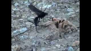 tarantula hawk vs tarantula