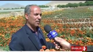 Iran Gaygan village, Aligudarz county, Flowers production محصولات گل روستاي گايگان اليگودرز ايران