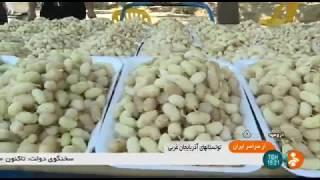 Iran White mulberry picking, Urmia county برداشت توت سفيد شهرستان اورميه ايران