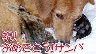 (愛犬物語)犬の出産 愛犬サンバ(母親)が強くなった日。犬の出産シーン