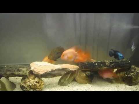Magnifico aquário Boyu de ciclideos Americanos Boyu Magnifico American Cichlids Aquarium