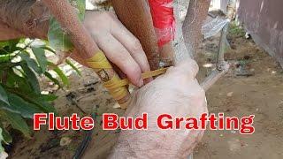 Grafting mango tree - flute bud grafting
