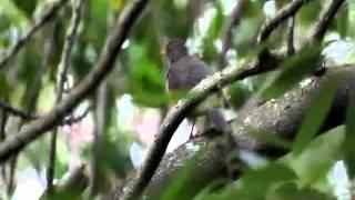 Olive Thrush Song