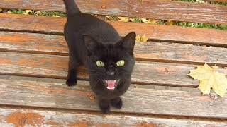 Black cat meows on a bench in the park