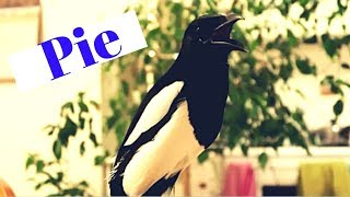 This Magpie Can Talk!