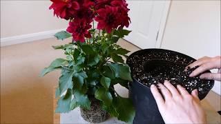 Planting Up My New Dahlia Plant 2017