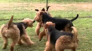 New Point Kennel: Airedales Having Fun