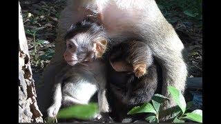 Twins baby monkey? Cute baby monkey at Angkor Wat