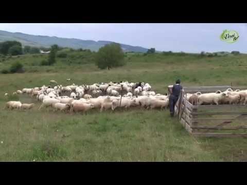 Major élet pásztor lét Nyárádremetén Balogh család