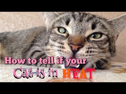 How to tell if your cat is in heat