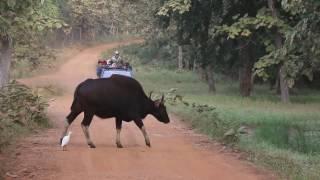 #Tiger Maya sighting Tadoba | #Deer | indian bison (#gaur) | Nagpur Tadoba