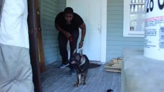 Vanguard k9; Puppy Alert training 1