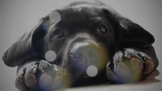 كلبة بيتبول رفضت الولادة .. وعندما نظر الطبيب في الاشعة لم يصدق عينيه