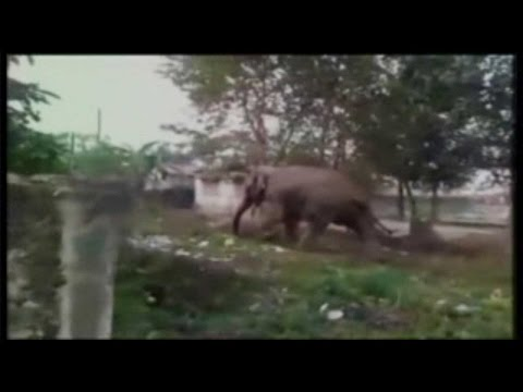 Elephant goes wild in Siliguri, damages at least 100 houses, Watch Video