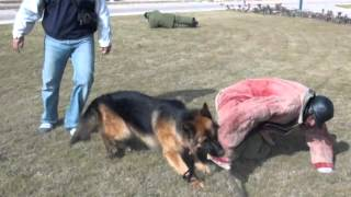 German shepherd defends owner against multiple attacks (Protection Training)