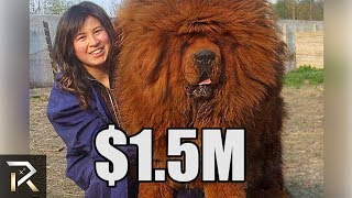 Ridiculously Expensive Dogs ONLY The Richest Can Afford