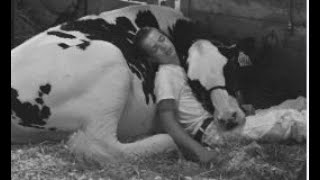 Boy and cow take nap together at Iowa State Fair
