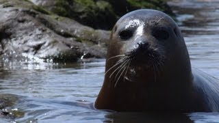 Wild Seals in the Thames | Unexpected Wilderness | BBC