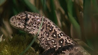 Reptiles of Britain | BBC Earth