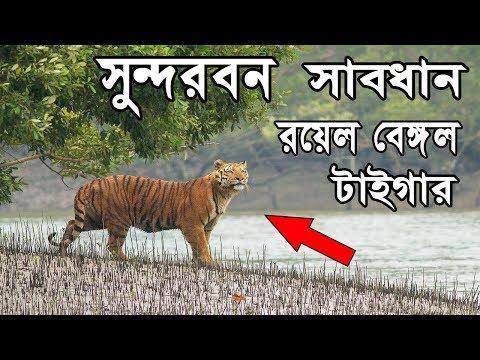 Xxx Mp4 সুন্দরবন খুবই সুন্দর ও রয়েল বেঙ্গল টাইগারের বাস Facts About Sundarbans National Park Bengali 3gp Sex