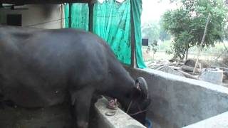 Milking a buffalo in Ambada Village,(Gujarat, India) - 26th March 2011