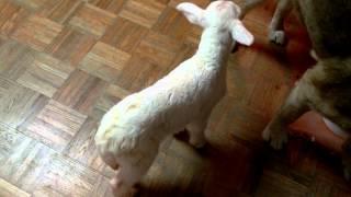Lizzy the lamb.mp4