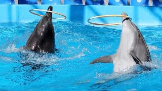 Dolphin Playing   Bottlenose Dolphin Playing Compilation - Dolphins Dance
