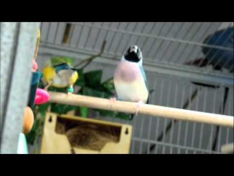 Gouldian Documentary