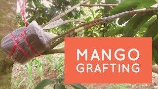 mango grafting methods ( attaching root stock)