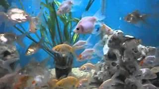 Akvarium Ribi
